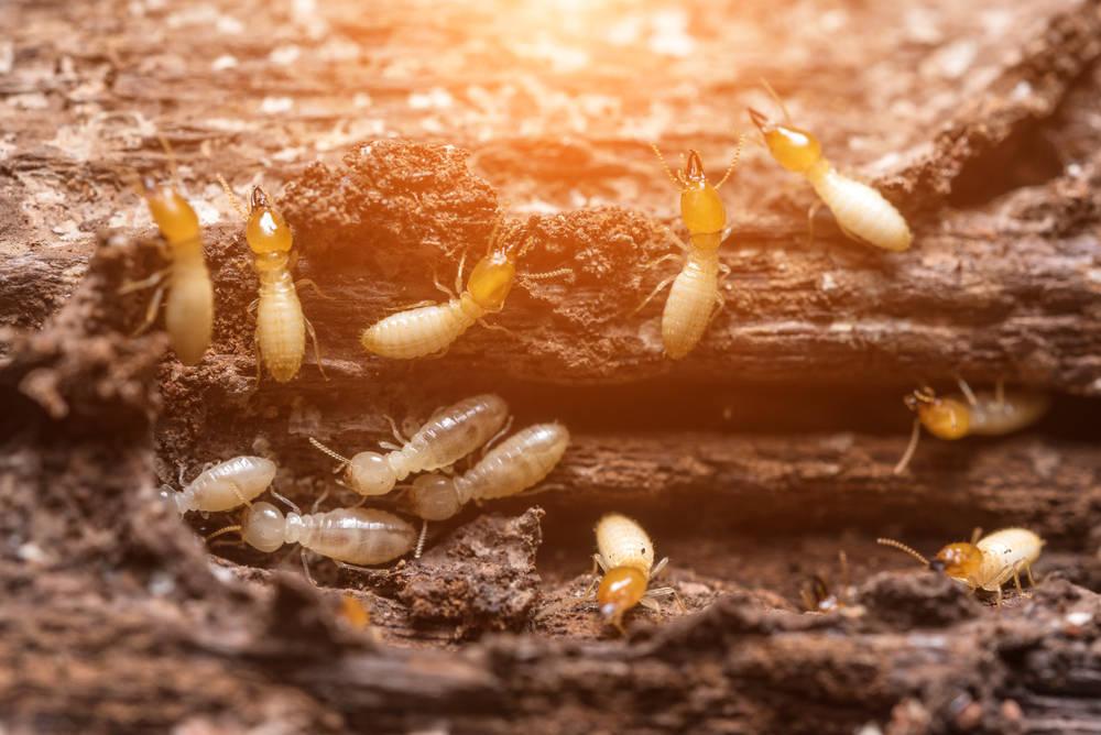 Con el calor, también llegan las termitas