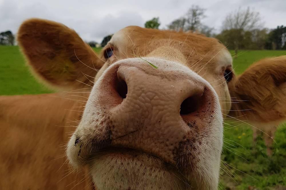 El consumo de lácteos es tan habitual como peligroso